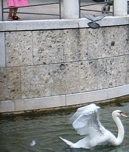 l'acqua e il cigno